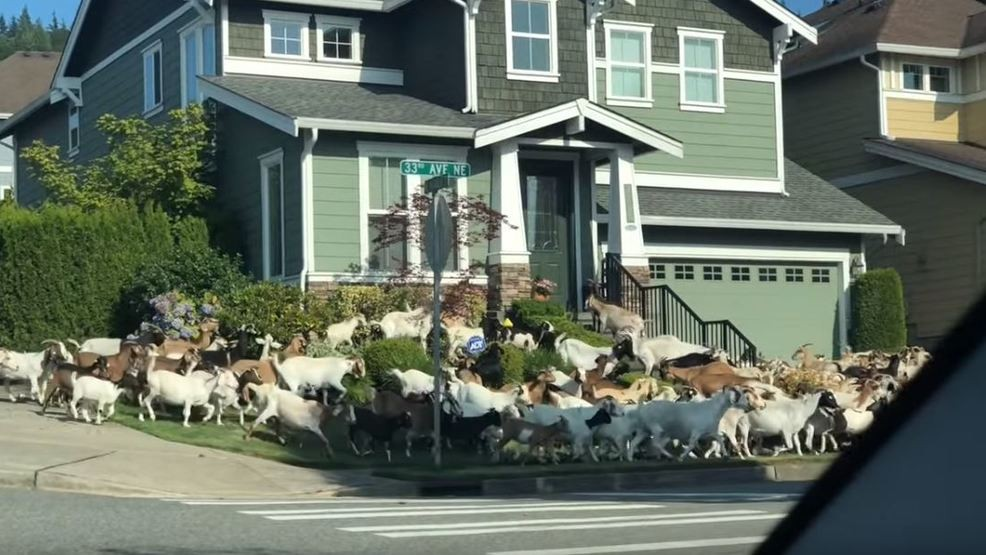 Goats Invade Seattle Neighborhood