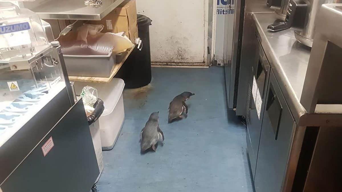 Blue penguins in sushi truck